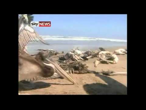 Hundreds Of Pelicans found dead in Peru