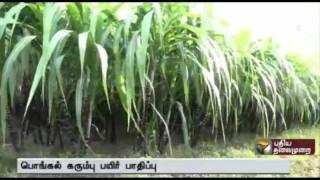 Heavy rains damage sugarcane crops in Pudukkottai