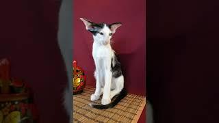 Котенок сиамо-ориентальной породы продается