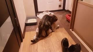 Вязка шотландский вислоухий и кошка Соня