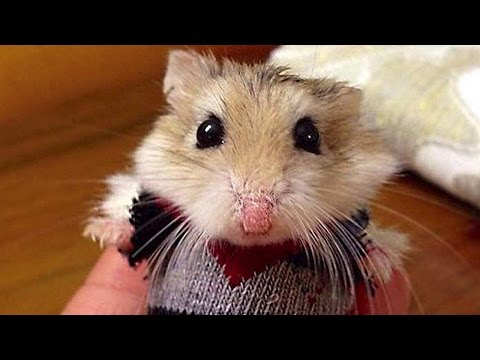 Funny Hamster Compilation NEW