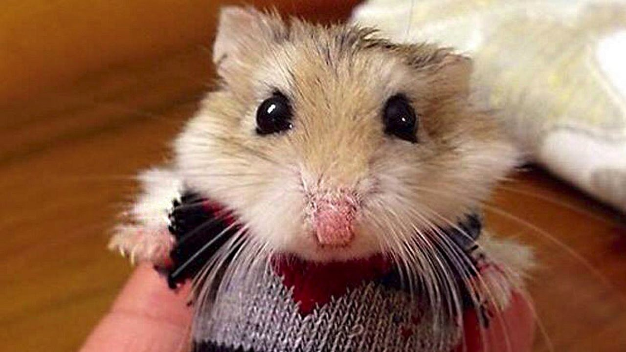 Funny Hamster Compilation New Doovi