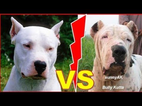 Bully Kutta Vs Dogo Argentino Must Watch Youtube