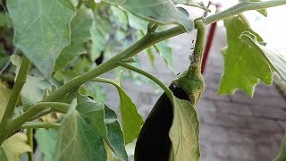 Getting Rid of Mealybugs || Treatment for Mealybugs on Plants