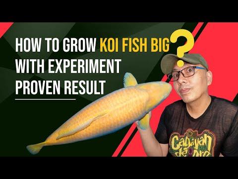 How to grow koi fish big ating alamin sa experimento na ito