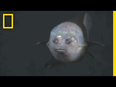 Fish With Transparent Head Filmed | National Geographic