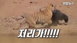 '새끼 앞에서 엄마는 무서울게 없다'…엄마곰, 호랑이와 결투