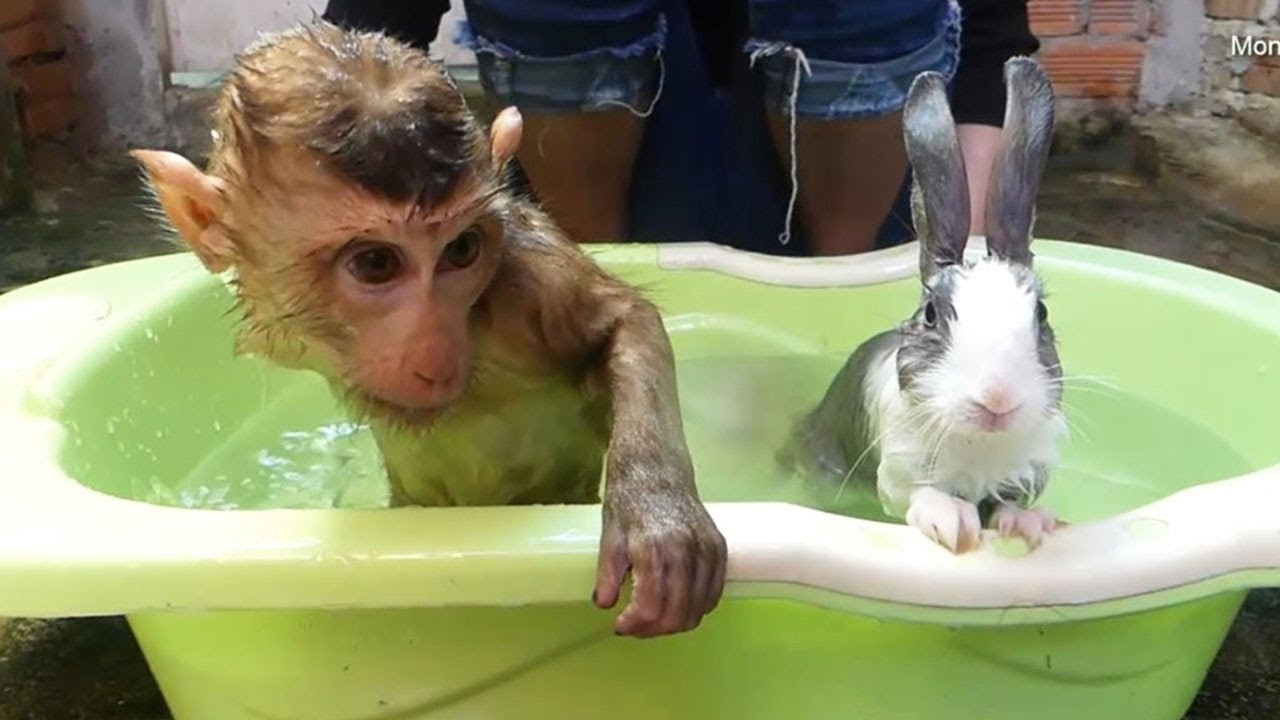 Monkey Baby Dodo Happy To Take Warming Bath With Cutie Baby Rabbit