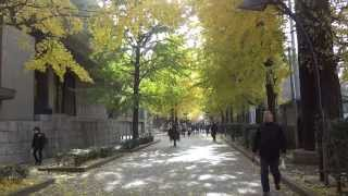 上野公園の正岡子規記念球場 前にある銀杏並木は紅葉真っ盛りで素晴らしい.