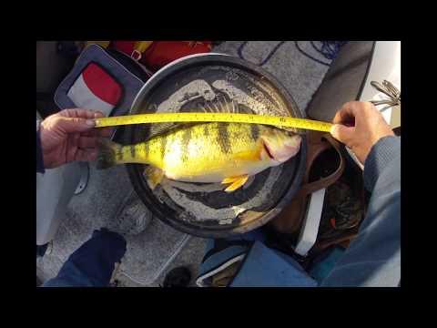 Jumbo Yellow Perch Fishing Lake Erie May 24, 2018