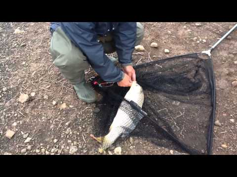 ловля сазана в уссури