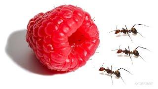 Ants vs Raspberry Timelapse