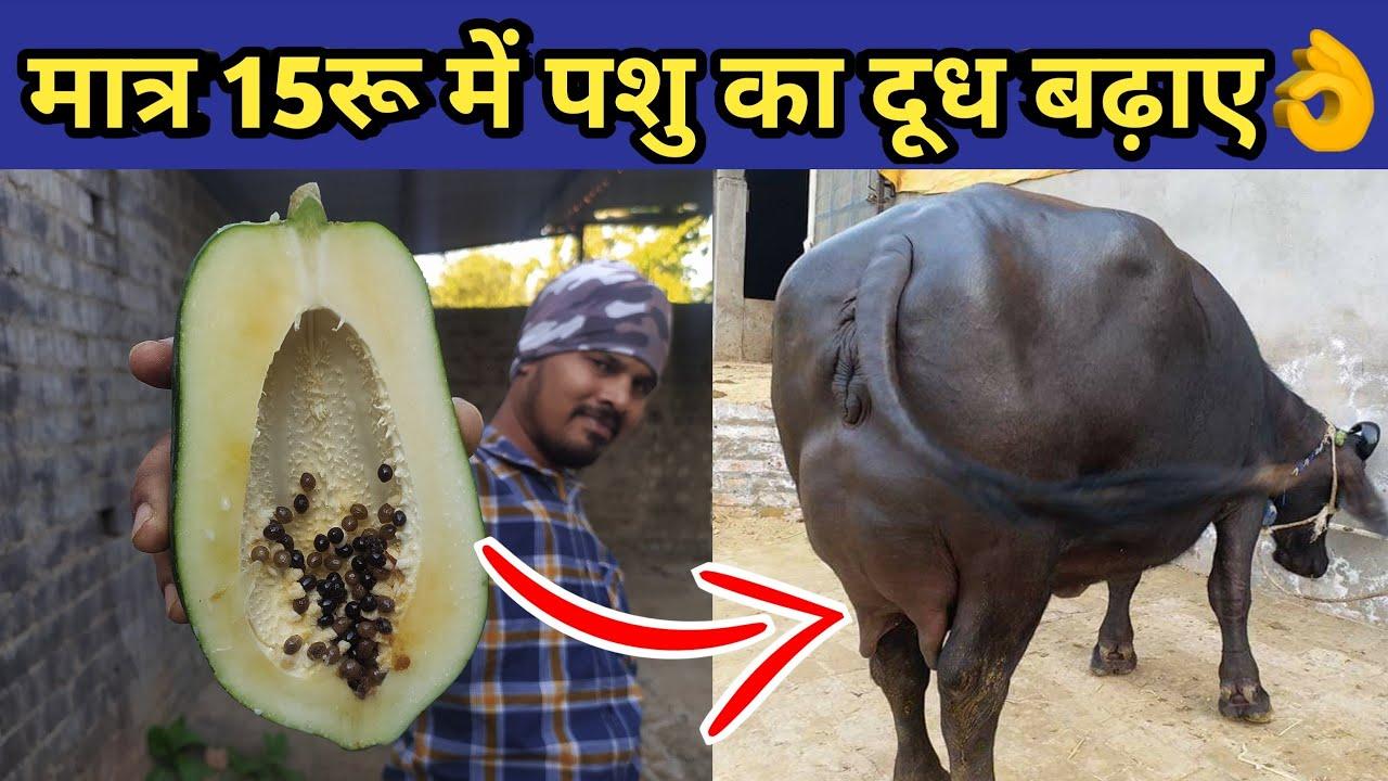 गाय/भैंस का दूध बढ़ाए मात्र 15रू में|Doodh bdhane ka tarika|Bhains ka doodh|Increse cow/buffalo milk
