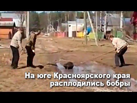 На юге Красноярского края расплодились бобры