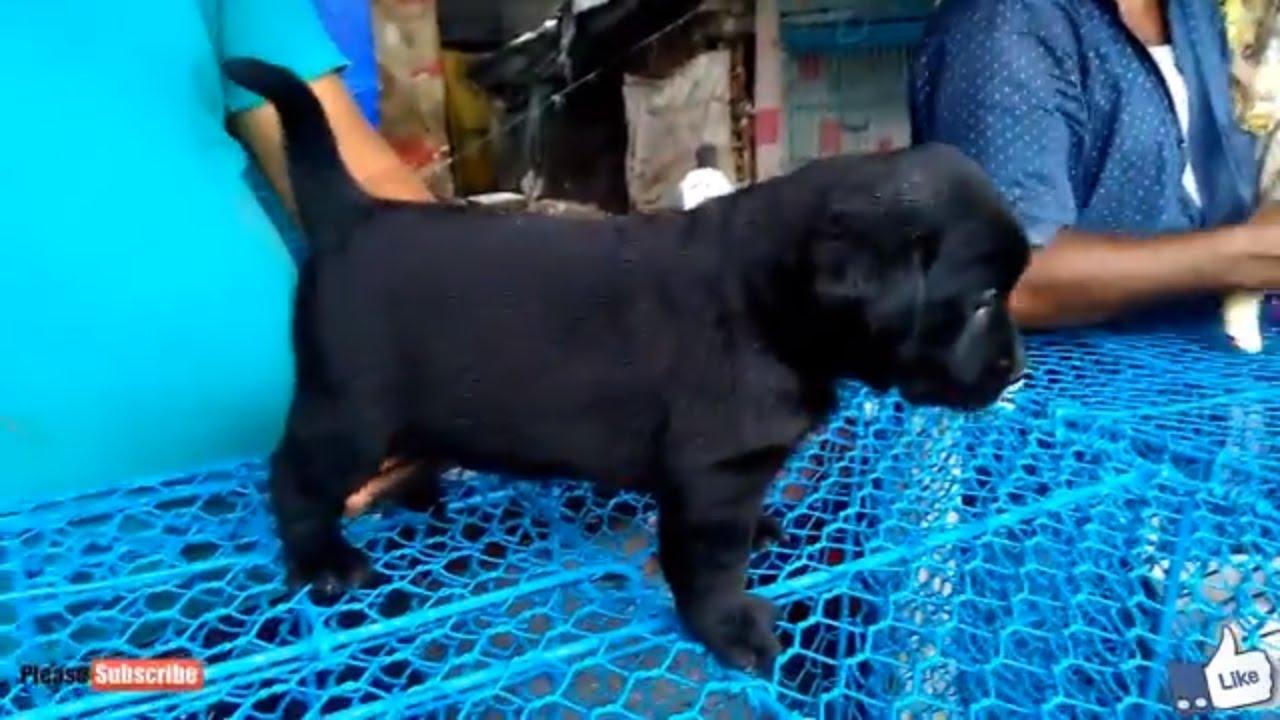 Energetic Labrador Black Golden Retriever Puppies At Galiff Street Pet Market Kolkata Youtube
