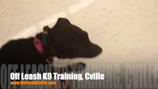 "Proper Heeling Through Pet Store | 9 Month Old Pit Mix ""dutchess"" | Dog Training Harrisonburg"