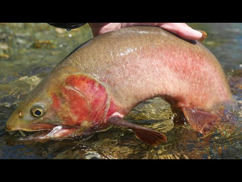 Huge Cutthroat Trout - Fly Fishing Yellowstone (2 of 3)