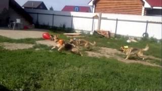 Энергия лета или мои супер Энергичные собаки!!!(, 2013-07-16T23:39:42.000Z)