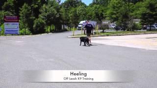 1-year Old Black Lab Lewie: Lab Training In Northern Virginia