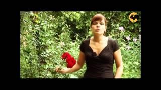 видео Роза Флорибунда, её сорта