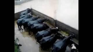 Dairy Farm Ch  Waqas Gujjar