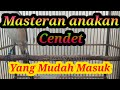 Masteran Cendet Anakan Masteran Cendet Macet Bunyi  Mp3 - Mp4 Download