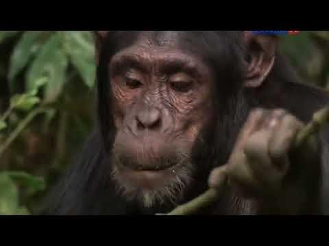 Descargar Video Секреты шимпанзе.  Документальный фильм