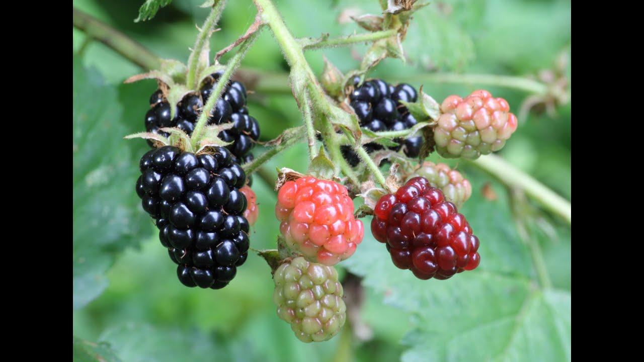 names of fruits start with letter b as banana blueberry blackberry betel nut