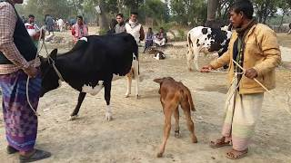 720।Cow videos।kids cow video।Huge cows video। Cow funny videos
