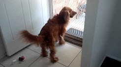 Cooper the cocker spaniel goes mental after his wash
