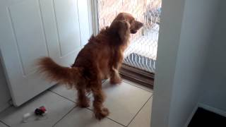 Our big cocker spaniel cooper goes mental after his wash. This is w...
