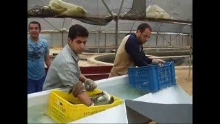 Intensive desert farming of marine fish in Egypt