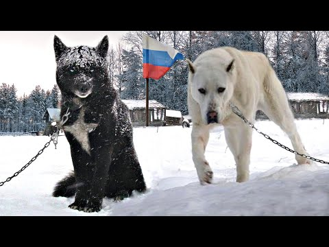 10 INSANE RUSSIAN DOG BREEDS