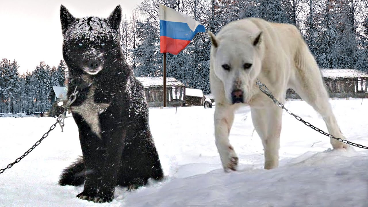 10 Insane Russian Dog Breeds You