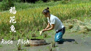 吃鱼没有捉鱼欢,收稻谷的时候也要收获鱼 Rice Fish