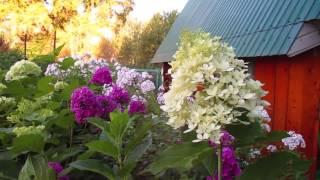 ✿➽ Гортензия метельчатая Фантом 2016  (первое цветение)