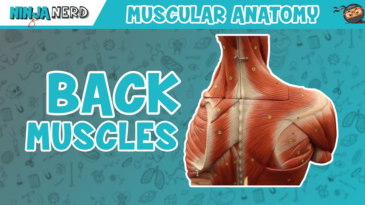 Muscles Of The Back Anatomy Model Youtube