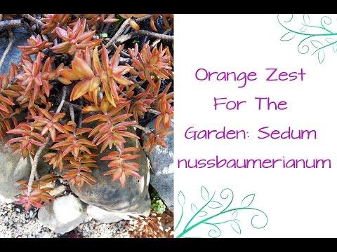 Orange Zest For The Garden: Sedum nussbaumerianum