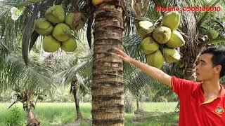 Hướng dẫn phương pháp trồng dừa sáp đem lại hiệu quả cao