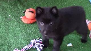 Fenris , Male Schipperke puppy, 8 weeks