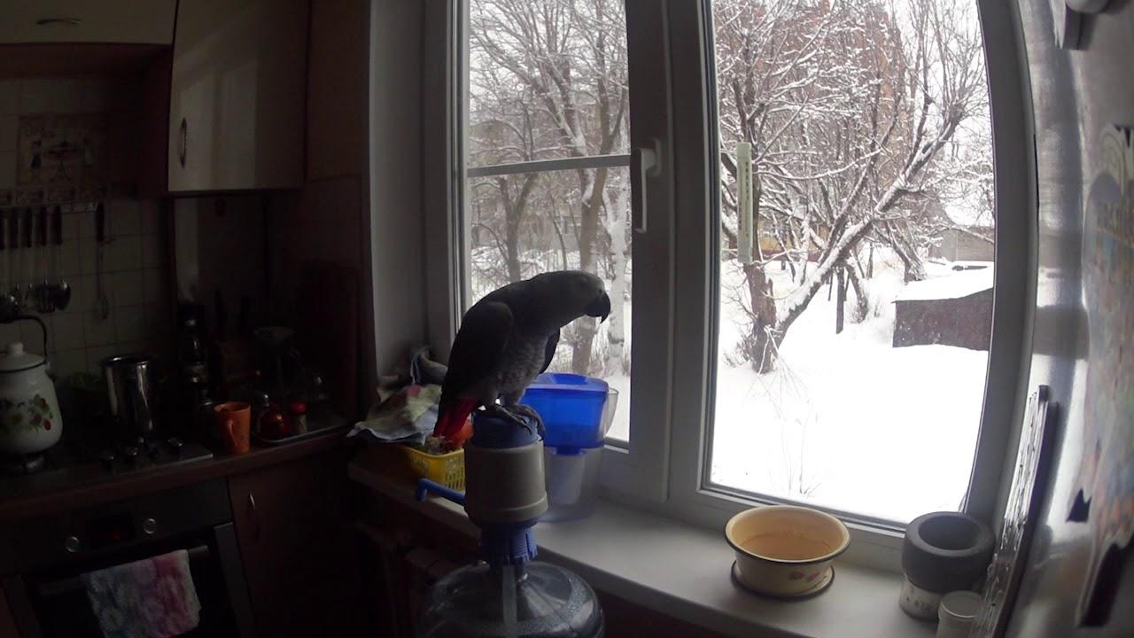 Попугай жако  Зима 2018