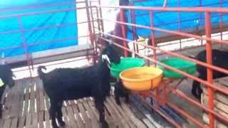 www.yashodavanagoatfarm.com / Organised Goat Farming Mysore
