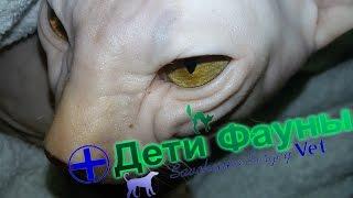 Донской сфинкс. История болезни/калицивироз