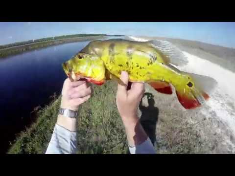 South Florida Tamiami Trail Springtime Peacock Bass