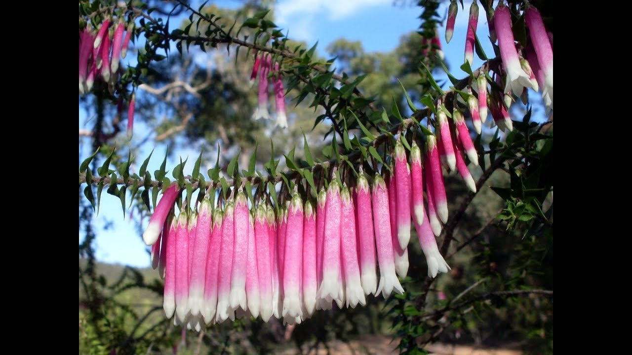 Strange But Beautiful Fuchsia Longiflora Flowers Australian