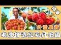 草地狀元/山竹登台瘋搶!寶島嚐禁忌外星果實 老農40年造紅毛丹王國!|娛樂星世界