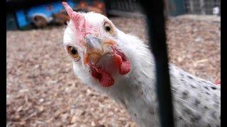 Оплод у индюков, что купить яйцо или цыпленка, вопрос - ответ.(, 2016-01-16T08:36:56.000Z)