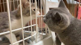 生後4ヶ月の先住猫vs2ヶ月の新入り子猫〜初日の戦い