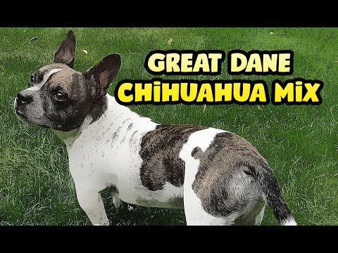 Great Dane Chihuahua Mix