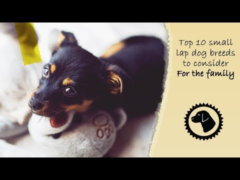 I ♥ SMALL DOGS! Top 10 Small Lap Dogs to Consider for the Family